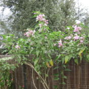 Location: my garden Date: 2012-10-17grew it from seed - 2 yrs ago; loads of blooms honeybees buzzing