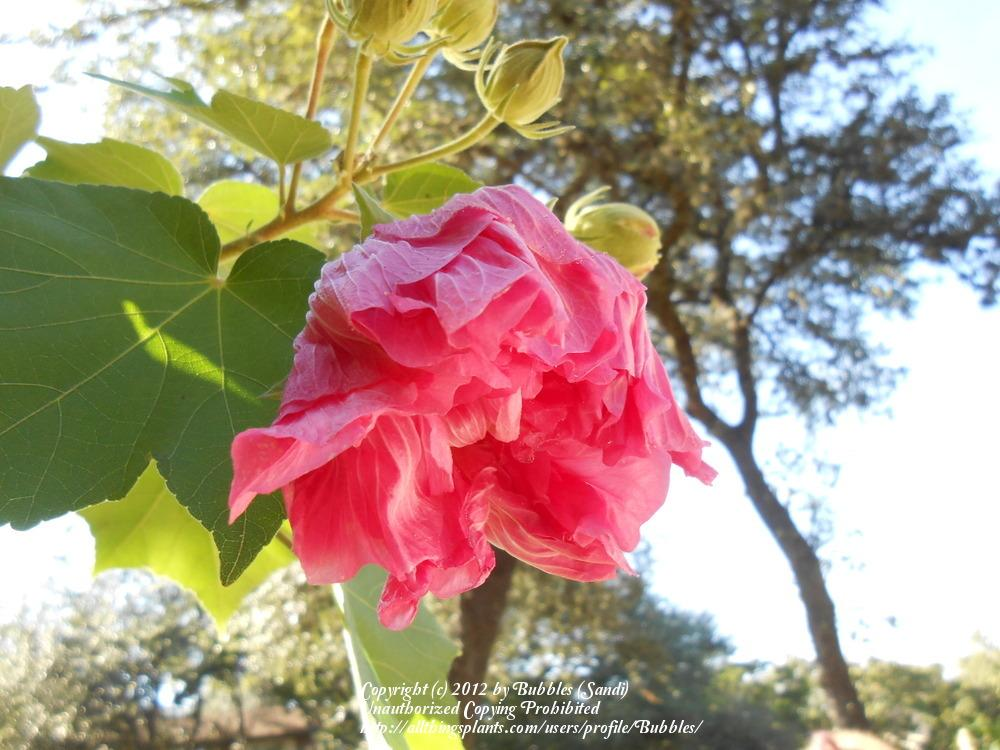 Photo of Confederate Rose (Hibiscus mutabilis) uploaded by Bubbles