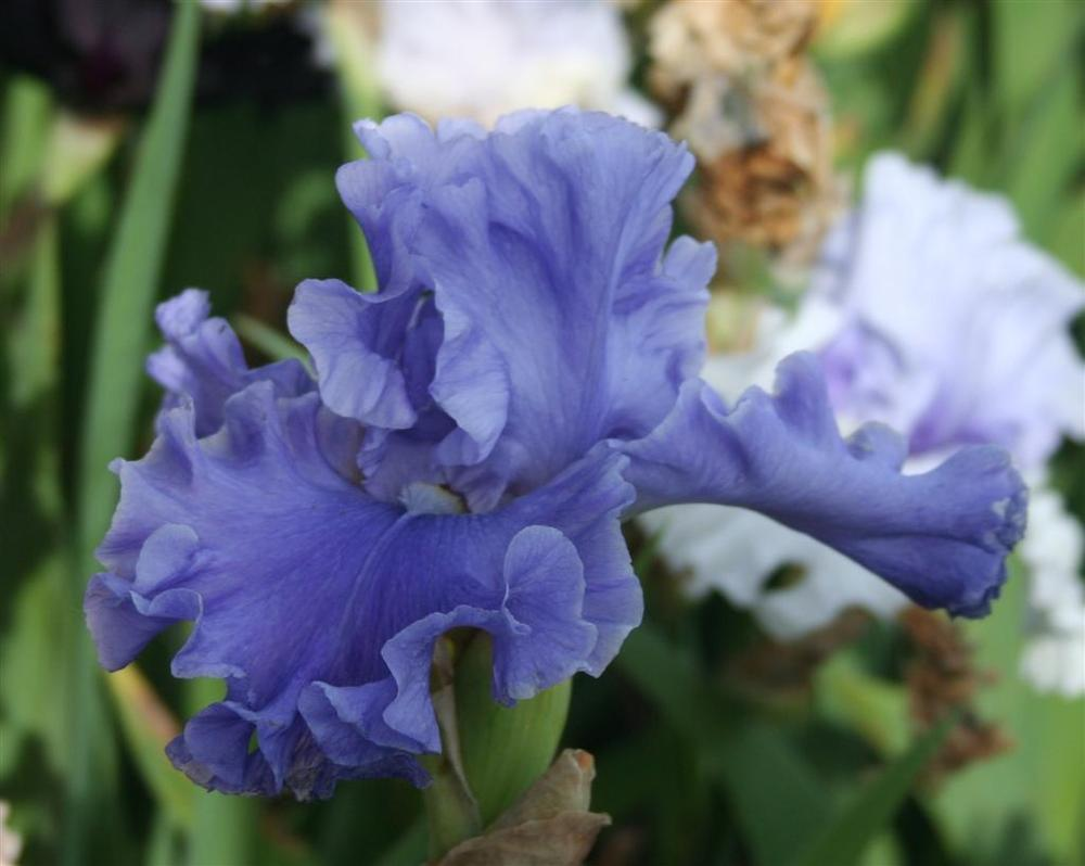Photo of Tall Bearded Iris (Iris 'Sea Power') uploaded by KentPfeiffer