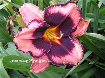 Photo of Daylily (Hemerocallis 'Eyes on the Prize') uploaded by Joy