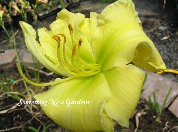 Photo of Daylily (Hemerocallis 'Emma's Green Giant') uploaded by Joy