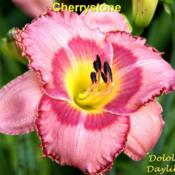 Photo Courtesy of Dololly's Daylilies. Used with Permis
