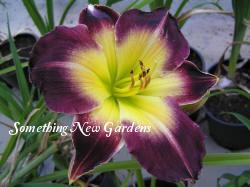 Photo of Daylily (Hemerocallis 'Laura Harwood') uploaded by Joy