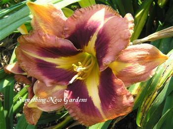 Photo of Daylily (Hemerocallis 'Mask of Time') uploaded by Joy