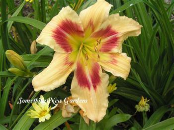 Photo of Daylily (Hemerocallis 'Patricia Snider Memorial') uploaded by Joy