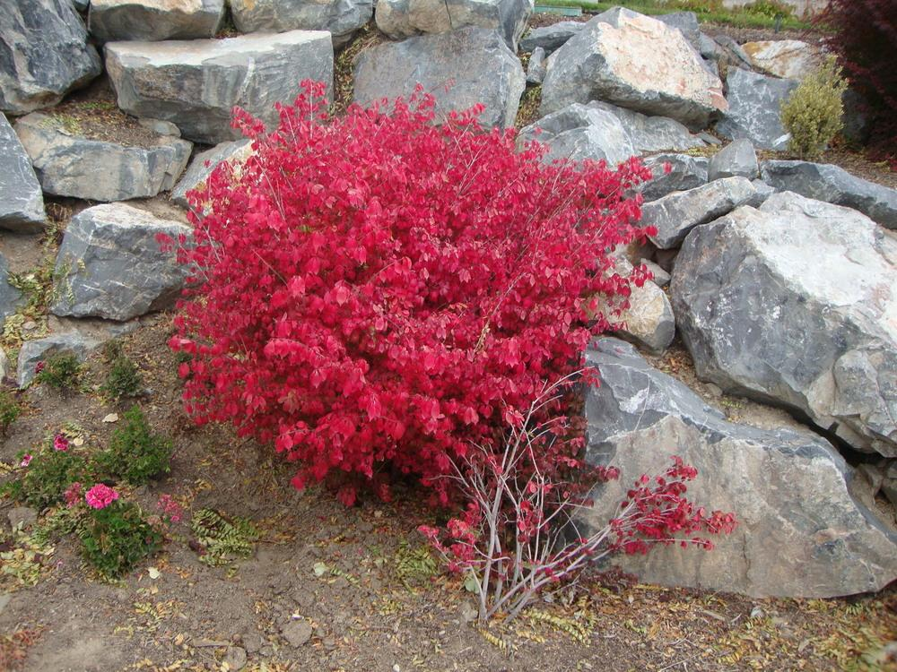Photo Of The Entire Plant Of Dwarf Burning Bush Euonymus