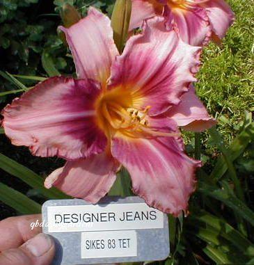 Photo of Daylily (Hemerocallis 'Designer Jeans') uploaded by Joy