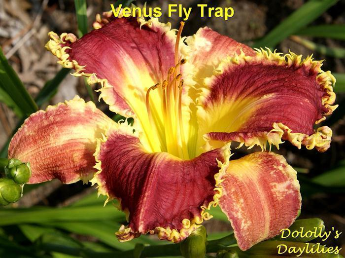 Photo of Daylily (Hemerocallis 'Venus Flytrap') uploaded by Joy