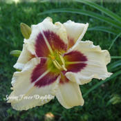 Photo Courtesy of Spring Fever Daylilies. Used with Per