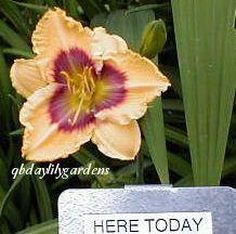 Photo of Daylily (Hemerocallis 'Here Today') uploaded by Joy