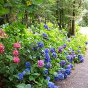 Location: Ballynahinch, IrelandDate: September 29, 2012Hydrangea in castle garden, western Ireland