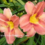 Photo Courtesy of Wood-Eden Daylilies & Cannas. Used wi