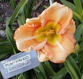Photo of Daylily (Hemerocallis 'Pumpkin Kid') uploaded by Joy