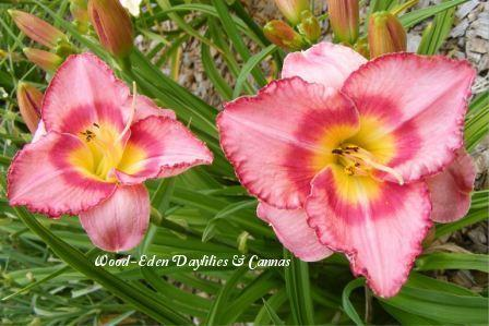 Photo of Daylily (Hemerocallis 'Cherrystone') uploaded by Joy