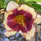Photo Courtesy of Wood-Eden Daylilies & Cannas. Used with Permiss