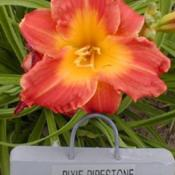 Photo Courtesy of QB Daylily Gardens. Used with Permission.