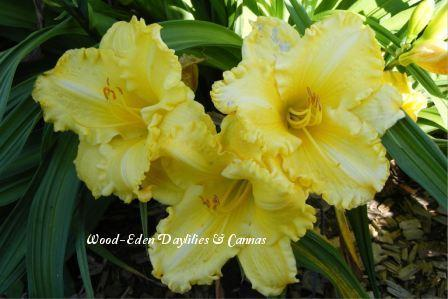 Photo of Daylily (Hemerocallis 'Isle of Capri') uploaded by Joy