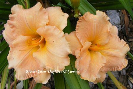 Photo of Daylily (Hemerocallis 'Elizabeth's Dream') uploaded by Joy