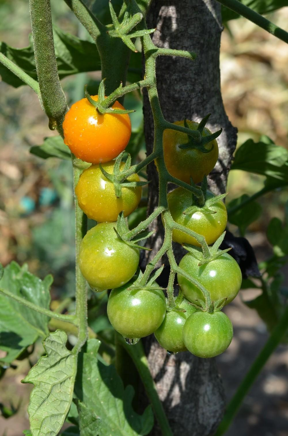Photo of Tomato (Solanum lycopersicum 'Sungold') uploaded by Anne