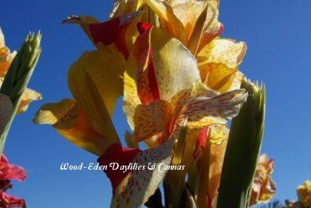 Photo of Canna Lily (Canna 'Yellow King Humbert') uploaded by Joy