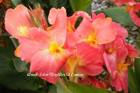 Photo of Canna Lily (Canna x generalis 'Peaches 'n Cream') uploaded by Joy