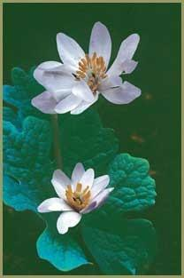 Photo of Bloodroot (Sanguinaria canadensis) uploaded by SongofJoy