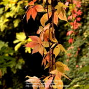 Location: my garden in Gent, BelgiumDate: 2012-10-22Leaves in autumn