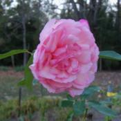 Location: My garden in northeast TexasDate: 2012  Oct 23