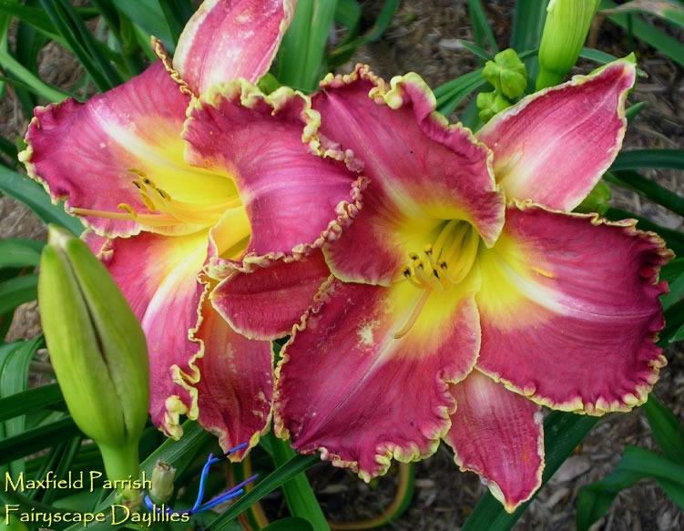 Photo of Daylily (Hemerocallis 'Maxfield Parrish') uploaded by Joy