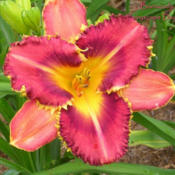 Photo Courtesy of Fairyscape Daylilies. Used with Permi