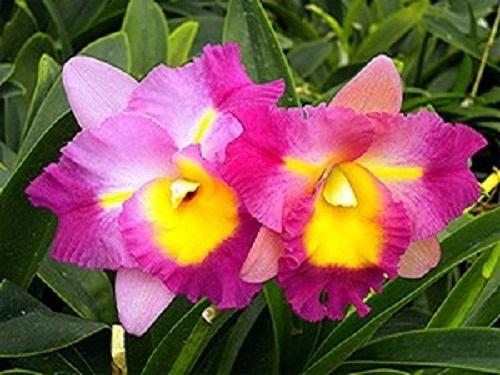 Plant Database forum: add this orchid genus to plant database