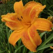 Location: Taken in my gardenDate: 2011-06-25I live in Huntsville AL, how could I not have this one?