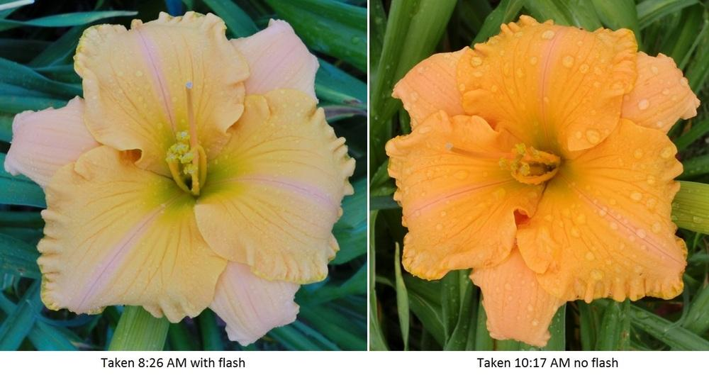Photo of Daylily (Hemerocallis 'Pure and Simple') uploaded by Ditchlily