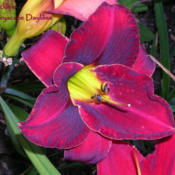 Photo Courtesy of Fairyscape Daylilies. Used with Permission