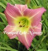 Photo of Daylily (Hemerocallis 'Ella Thomas Riggins') uploaded by Joy