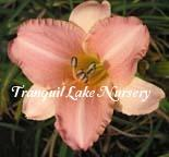 Photo of Daylily (Hemerocallis 'Gemini') uploaded by Joy