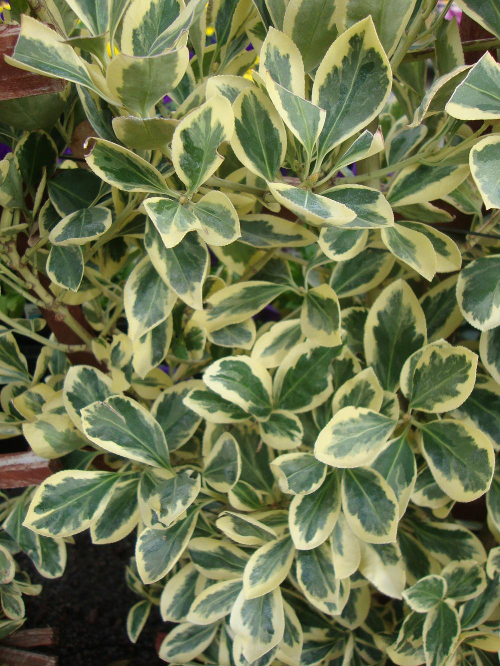 Euonymus japonicus /'Silver King/' 20 SILVER KING EUONYMUS SEEDS