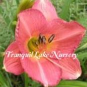 Photo Courtesy of Tranquil Lake Nursery. Used with Perm