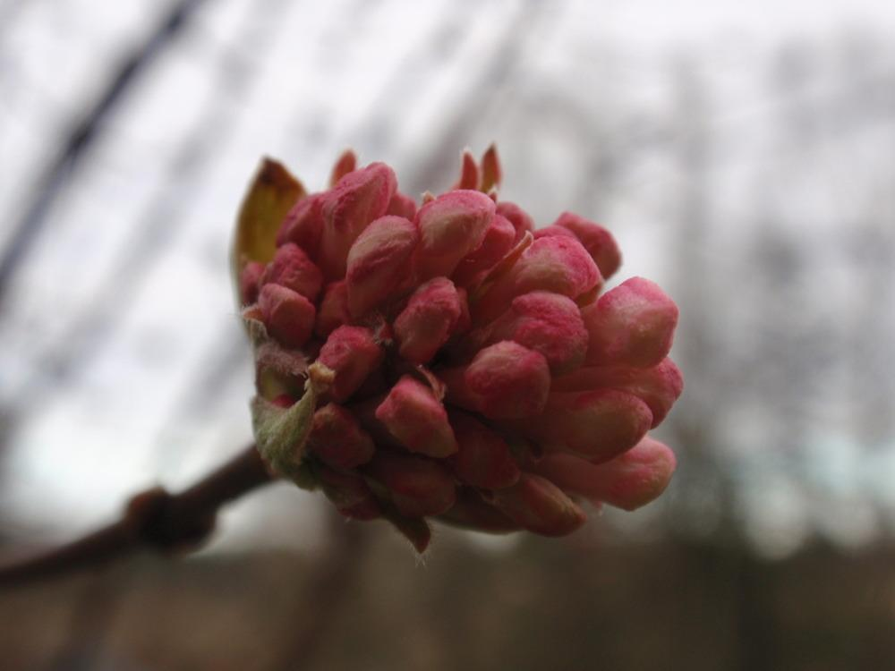 Photo of Bodnant Viburnum (Viburnum 'Dawn') uploaded by Bonehead