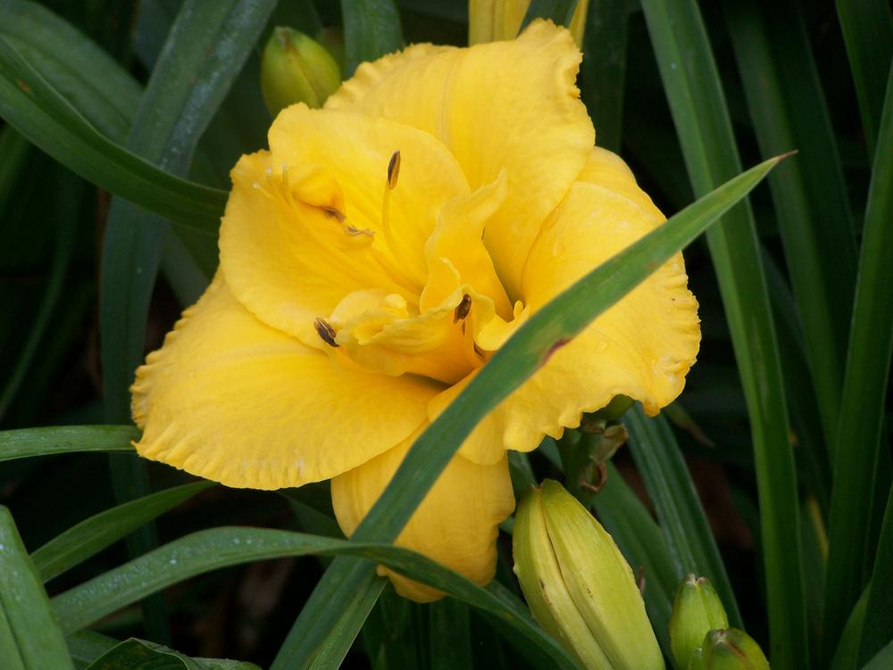 Photo of Daylily (Hemerocallis 'Layers of Gold') uploaded by Calif_Sue