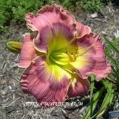 Photo Courtesy of Saksa Daylily Farm. Used with Permiss