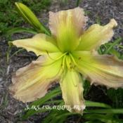 Photo Courtesy of Saksa Daylily Farm. Used with Permission