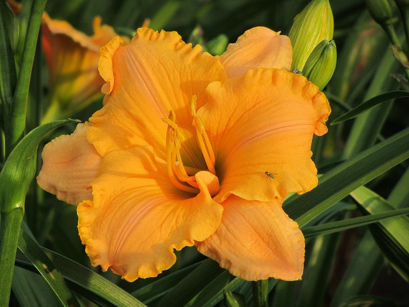 Photo of Daylily (Hemerocallis 'Pure and Simple') uploaded by Calif_Sue