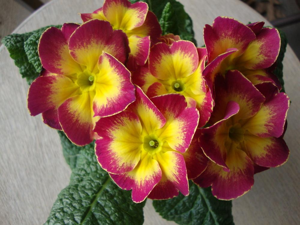 Photo of Primroses (Primula) uploaded by Paul2032