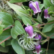 Location: My GardenDate: 2012-09-19A seedling of a species Clematis of unknown parentage.