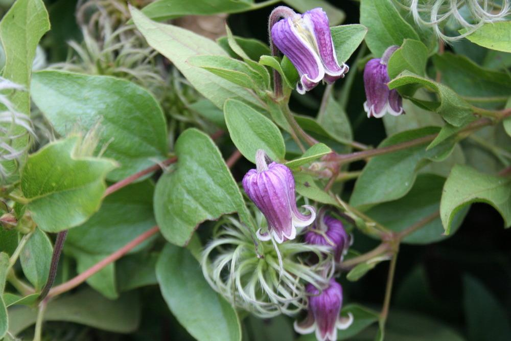 Photo of Clematis uploaded by 4susiesjoy