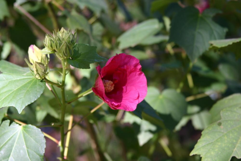 Photo of Confederate Rose (Hibiscus mutabilis) uploaded by dave