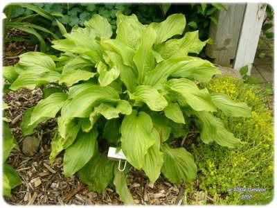 Photo Of The Entire Plant Of Hosta Honeybells Posted By Joy
