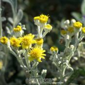 "Location: Daytona Beach, FloridaDate: 2012-11-01 November blooms of ""Dusty Miller\"""
