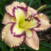 Photo Courtesy of Wynn's Daylily Garden. Used with Permission